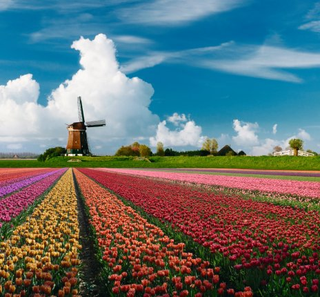 Tulpenblüte in Holland © istockphoto